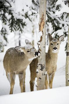 Two Young Deer In A Snow Covered Forest by Michael Interisano