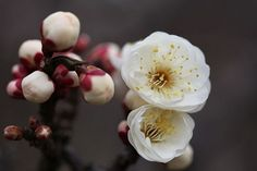 Prunus mume,Japanese apricot