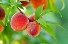 Nothing reminds us more of summer then a juicy peach. Eating a ripe peach straight from the tree (or freshly picked at your local farmers' market) is like biting into sweet, sweet sunshine. However peaches aren't just delicious to eat; Growing Peach Trees, Fast Growing Trees, Growing Plants, Peach Tree Care, Dwarf Peach Tree, Azalea Bush, Peach Fruit, Garden Shrubs, Garden Beds