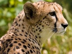 No reintroduction cheetah in India because of the wrong subspecies. The government wanted to breed with African cheetah but the Asian cheetah are much better suited for India.