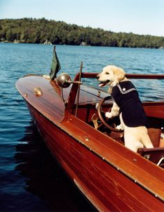 Dream, one of the golden retriever residents of Camp Longwood, the authors' great camp on Spitfire Lake, pilots a Penn Yan boat. #dogs #goldenretrievers