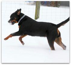 Welcome To Greendale Rotts Rottweilers, Jaba, Dogs, Animals, Animales, Animaux, Rottweiler, Pet Dogs, Doggies