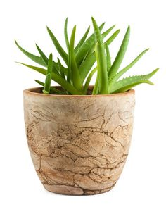 How To Plant And Grow Aloe Vera
