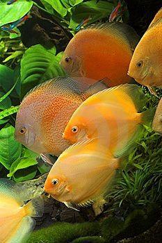Peixes Ornamentais |