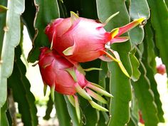 How Does Your Dragon Fruit Grow?