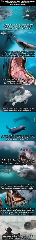 Good guy leopard seal