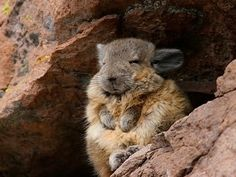 Viscacha - The northern viscacha (Lagidium peruanum) is a species of rodent in the family Chinchillidae.[2] It is known from Peru and Chile, at elevations from 300 to 5000 m, and may also be present in Bolivia- Wikipedia