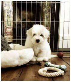 #oscar #puppy #poser