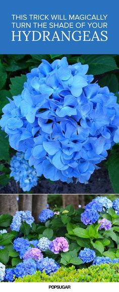 If you've ever admired a hydrangea bush blooming in all sorts of pastel shades, you'll be happy to know that the look is achieved by a simple science trick!