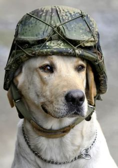 Timothy, an army explosive sniffer dog, wears the helmet of a soldier who placed it on his head at the site of a car loaded with explosives that was detonated by an army anti-bomb squad in Pradera, southwestern Colombia, Friday, Feb. 3, 2012.