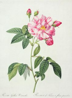 French Rose Drawing  - French Rose Fine Art Print