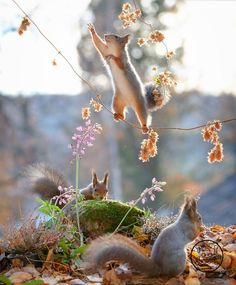 Squirrel photography project by Geert Weggen is all too adorable for words Squirrel Pictures, Animal Pictures, Cute Pictures, Cool Photos, Amazing Photos, Cute Baby Animals, Animals And Pets, Funny Animals, Wild Animals