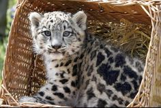 snow leopard cub in a basket