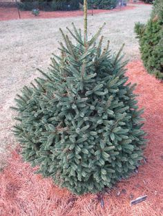 Picea abies 'Arnold Dwarf' Picea Abies, Dwarf, How To Dry Basil, Herbs, Plants, Herb, Plant, Planets, Medicinal Plants