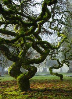 A Japanese Maple tree in Portland, Oregon.
