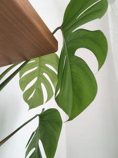 Monstera leaves #green #greenery