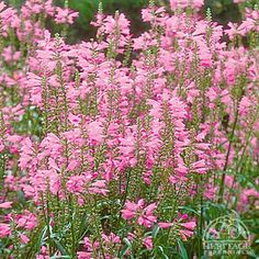 Obedient Plant (physostegi virginiana) full sun or partial shade perennial flowering plant that will attract butterflies; deer resistant; zone 2-9