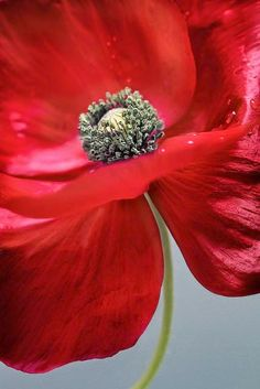 http://www.pinterest.com/HertaRieker/poppies/Poppy