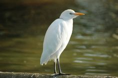 黃頭鷺 (牛背鷺) Cattle Egret (Bubulcus ibis)