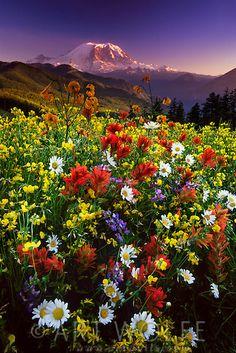 Landscape - Nature - Wildflowers in bloom, Mount Rainier National Park, Washington State.