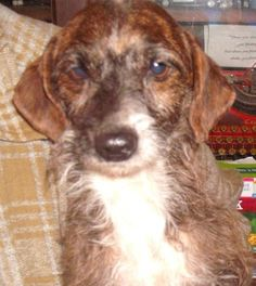 Meet HUDSON (Low Adoption) BARKLEY II, a Petfinder adoptable Terrier Dog | Washington, DC | Please contact Janet (dogtiredjanet@hotmail.com) for more information about this pet.Adopting A...