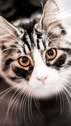 Beautiful Cats And Dogs Beautiful Cats Kittens Pretty Cats, Beautiful Cats, Animals Beautiful, Gorgeous Eyes, Beautiful Images, Hello Gorgeous, Cool Cats, Animals And Pets, Cute Animals