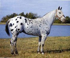 Joker B (Red Dog x Blue Vitriol) Appaloosa Hall of Fame Stallion All The Pretty Horses, Beautiful Horses, Animals Beautiful, Joker, Diy Photo, Different Horse Breeds, Appaloosa Horses, Andalusian Horse, Friesian Horse