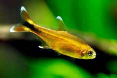 Aquarium Care for Freshwater Fish Freshwater fish are perhaps the easiest fish to care for in comparison to saltwater species because they are usually hardier Aquarium Set, Betta Aquarium, Live Aquarium Plants, Tropical Aquarium, Tropical Fish, Aquarium Ideas, Saltwater Tank Setup, Saltwater Aquarium, Tetra Fish