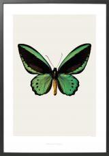 Priamus Butterfly Print L by hagedornhagen Butterfly Print, Butterfly Wings, Butterfly Images, Green Butterfly, Retro Design, Graphic Design, Wall Collage, Wall Art, Piercings