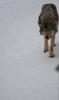European wolf-- you don't know scary until a pack of these is chasing you!