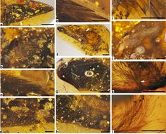 Scientists discovered two feather-covered dinosaur wings preserved in amber 6/29/16 BusInsider ncomms12089 f3