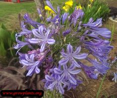 Agapanthus plant - growing information all need to grow about how to grow and care of this plant and also buy here, some important details that you can find: Edible or ornamental, amount of water, sun exposure, planting season, blooming season, hardiness zone, size of the plants, pruning season and instruction, pests &diseases, growth speed, uses of the plant, flowers color, houseplant or outdoor plant (can be more), unique requirements, tips and much more #gardening, #flowers