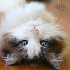 Oui mademoiselle le chat dans toute sa splendeur...