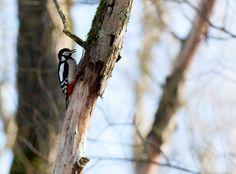 Die Spechte sind in der Systematik der Vögel eine artenreiche Familie aus der Ordnung der Spechtvögel. Diese Vogelfamilie enthält 28 Gattungen und mehr als 200 Arten. Wikipedia