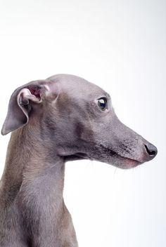 Italian Greyhound Breed Information Italian Greyhound, Greyhound Italiano, Greyhound Breed, Chien Basset, I Love Dogs, Cute Dogs, Grey Hound Dog, Beautiful Dogs, Dog Art