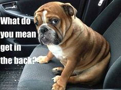 ♥ That attitude we love ♥ Photo from I love English Bulldogs