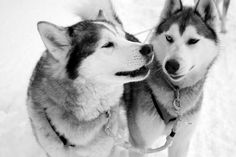 We All Love Husky Dogs pics) Pet Dogs, Dogs And Puppies, Dog Cat, Doggies, Beautiful Dogs, Animals Beautiful, Beautiful Creatures, Wolf Husky, Wolf Dogs