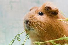Tricks Fur Meerschweinchen Tolle Beschaftigungsmoglichkeit My Animals In 2020 Meerschweinchen Niedliche Meerschweinchen Nagetiere