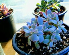 Baby echeveria borned from only  one leaf - by GreenCorner