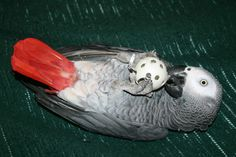 african grey parrot on its back playing with a ball