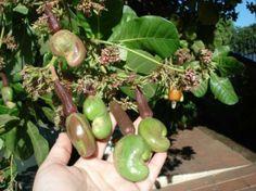 Concepcion de Ataco, El Salvador: Cashews....Marañones!!!