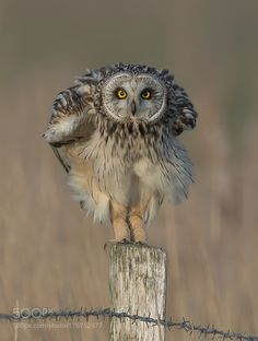 Short-eared Owl by stefaanvanderpoorten #animals #animal #pet #pets #animales #animallovers #photooftheday #amazing #picoftheday