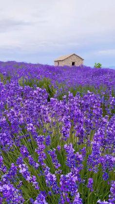 Lavender Garden, Lavender Flowers, Flowers Nature, Lavender Fields, Beautiful Landscape Wallpaper, Beautiful Flowers Wallpapers, Beautiful Landscapes, Types Of Flowers, Pretty Flowers
