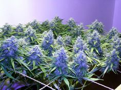 Colorado Shiva: How to Grow Marijuana Indoors (Including TONS of Tips not Just Schedule) Medical Marijuana Project Information Marijuana Info Cannabis Info Weed Growing Techniques Project Difficulty: Simple to Medium MaritimeVintage.com
