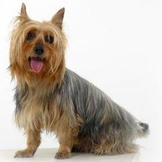 L' Australian Silky Terrier è un cane di taglia piccola agile, allegro e socievole. Adatto ai bambini, un tempo era un grande cacciatore di ratti mentre oggi è più utilizzato come cane da compagnia.