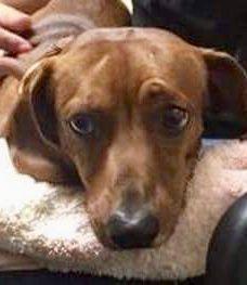 Dachshund dog for Adoption in Los Angeles, CA. ADN-698020 on PuppyFinder.com Gender: Male. Age: Adult