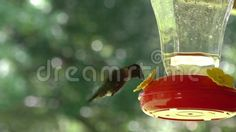 Humming Bird eating from Humming Bird Feeder.