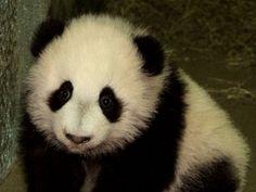 baby pictures of pandas   Free Baby Panda!! Wallpaper - Download The Free Baby Panda!! Wallpaper ...