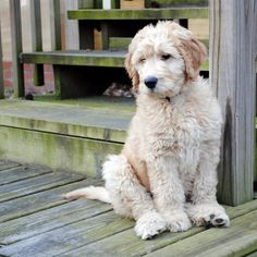 My handsome goldendoodle Nelson! #goldendoodle #puppy
