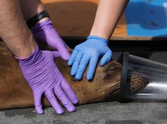 An Unraveling Web - Along the California coast, first responders and researchers work tirelessly to rescue marine mammals from a life-threatening toxin. California Coast, Mammals, Morro Bay, Autumn 2017, Central Coast, Life, Pens, Recovery, Beaches